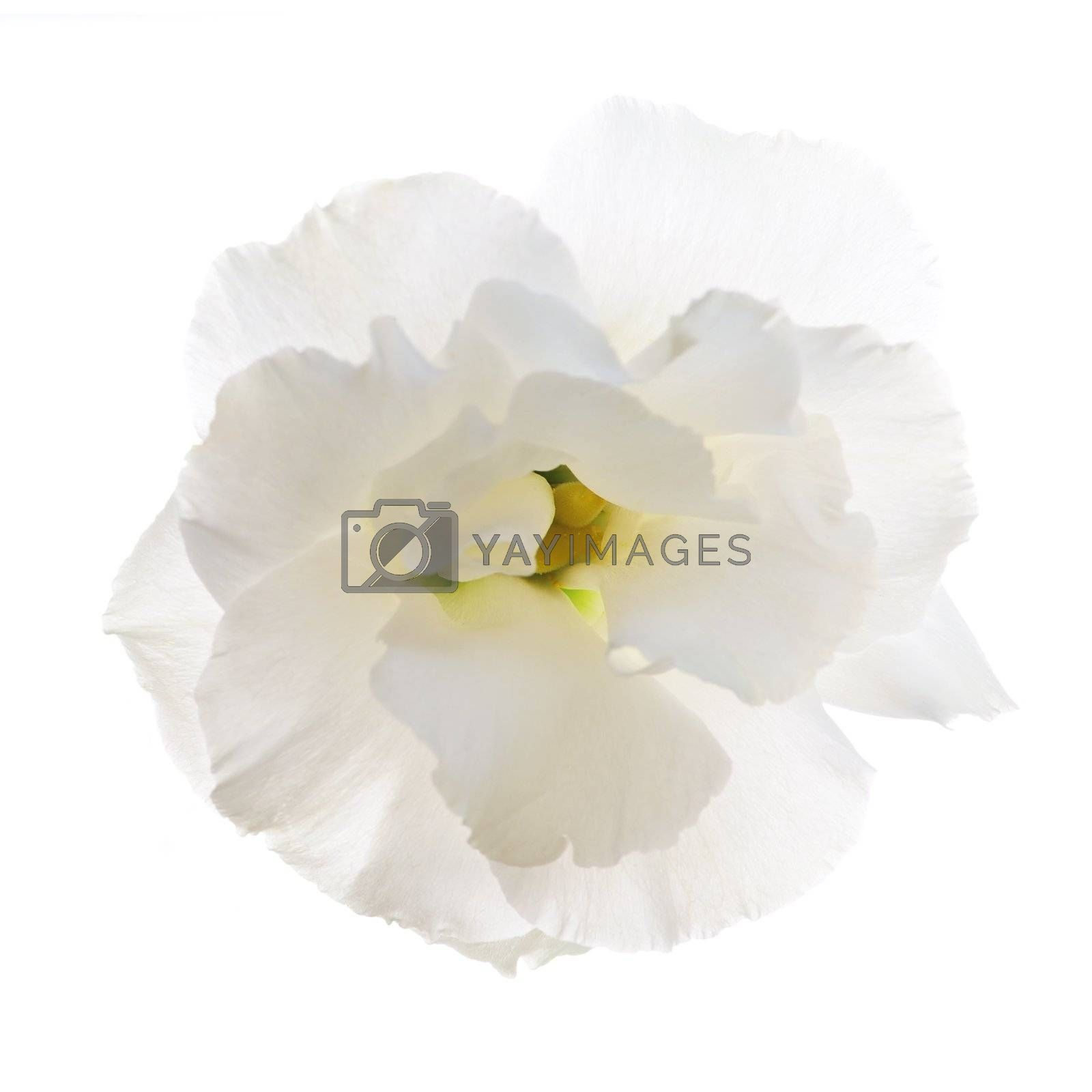 Flower called prairie rose isolated on white background