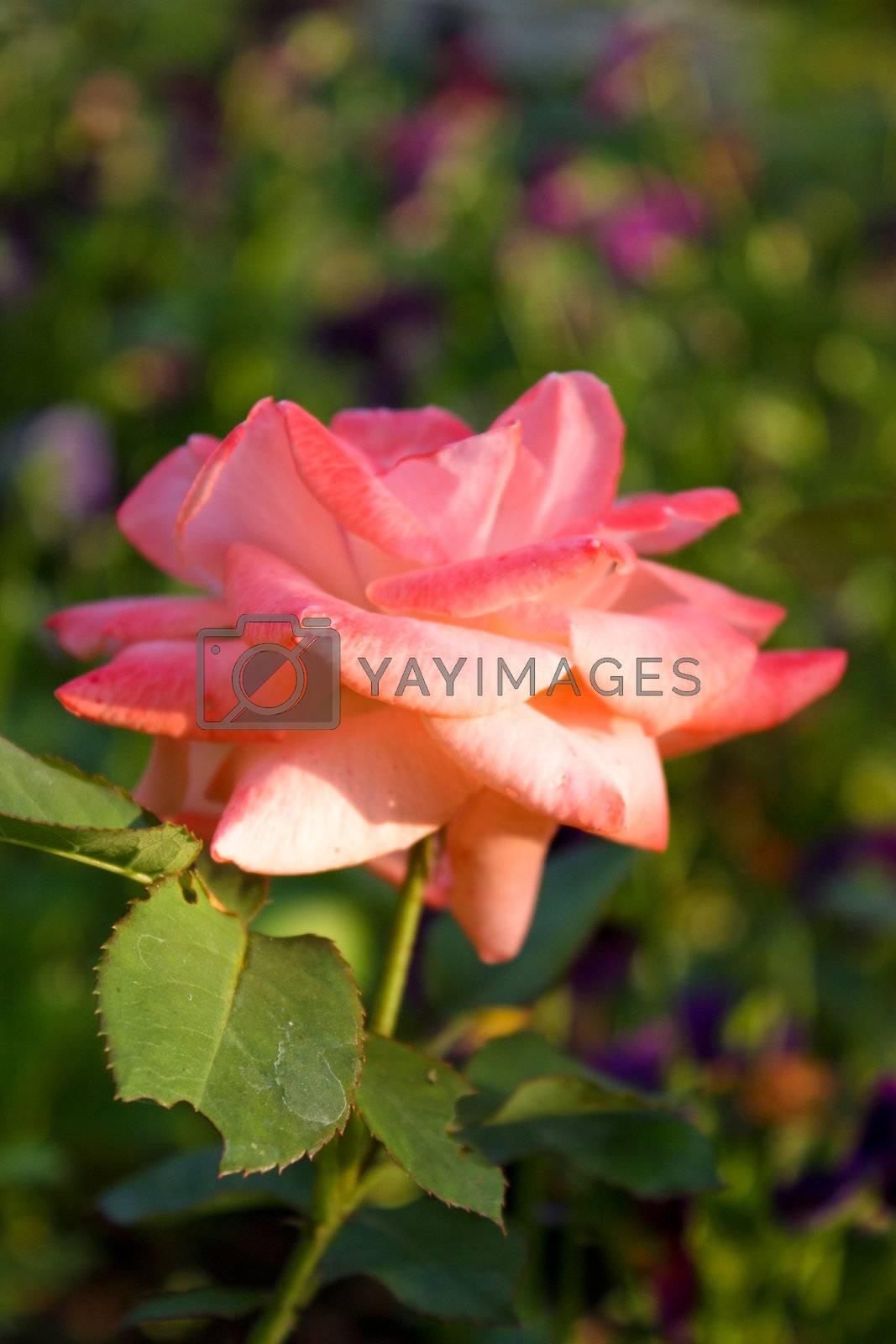 Royalty free image of Rose by Lyudmila