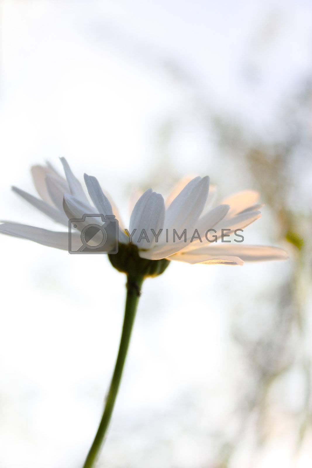 Royalty free image of daisy by Lyudmila