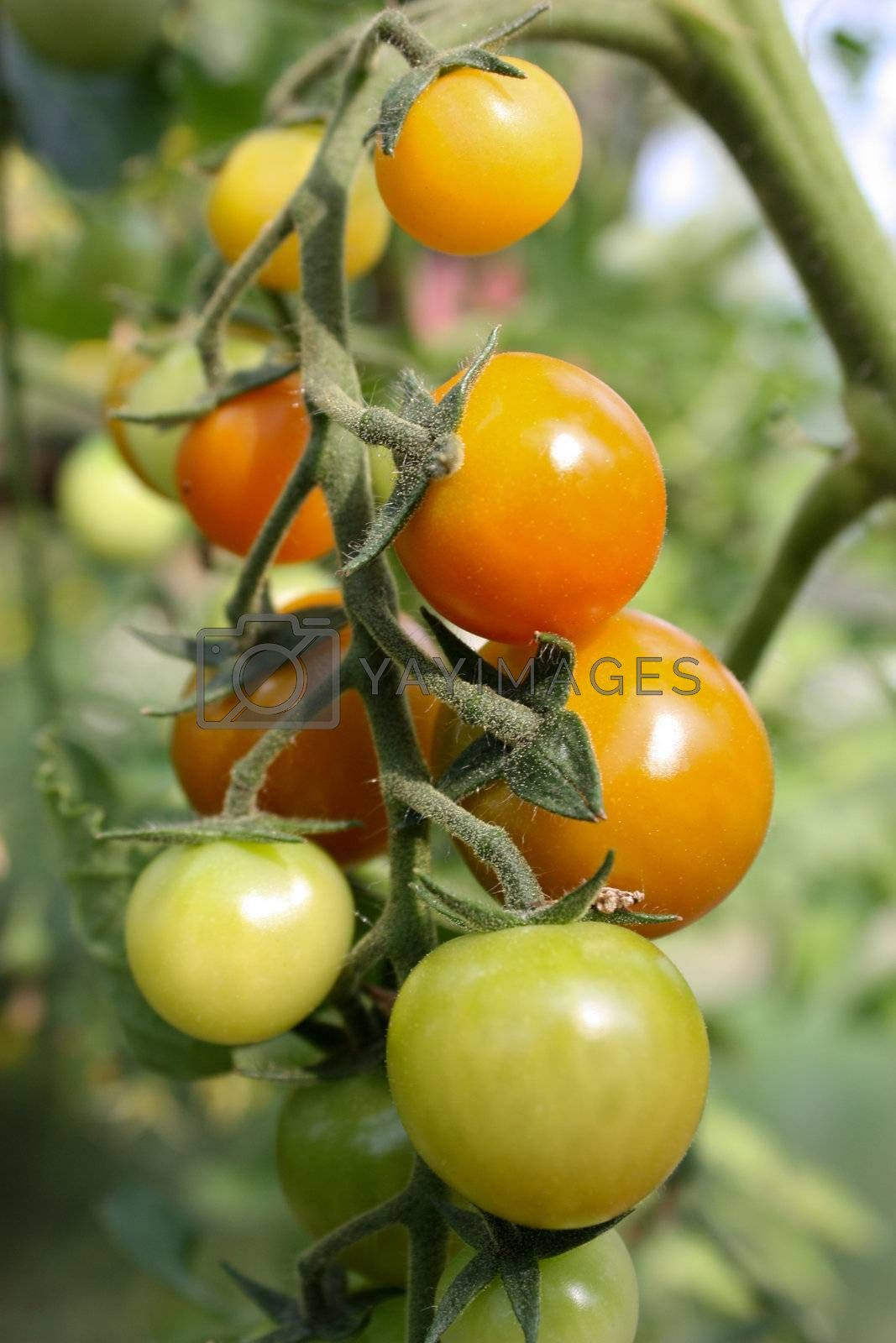 Royalty free image of tomatoes by Lyudmila