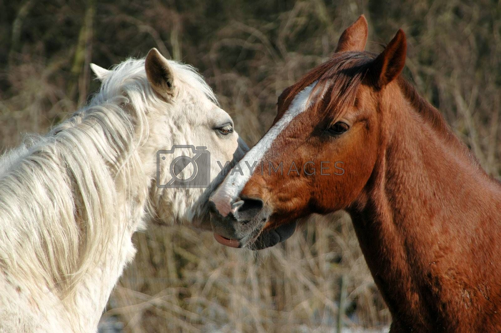 Horse lovers by cfoto