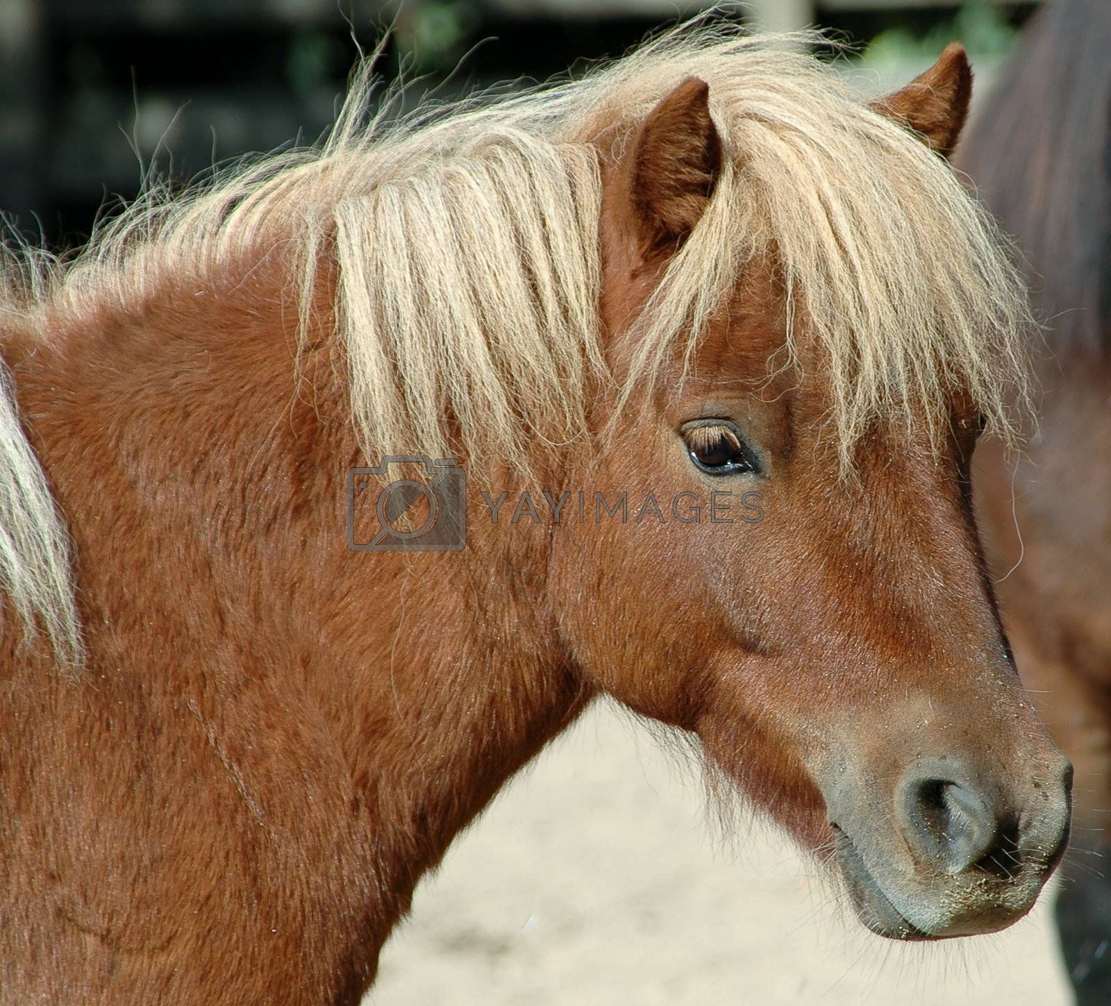 Royalty free image of Pony by cfoto