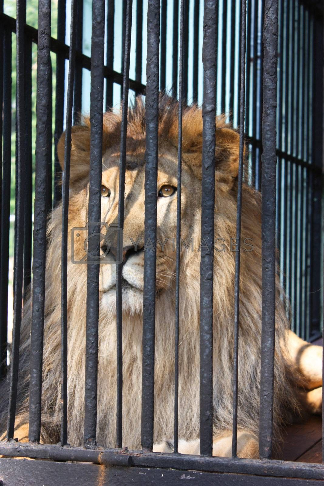 Royalty free image of lion by Lyudmila