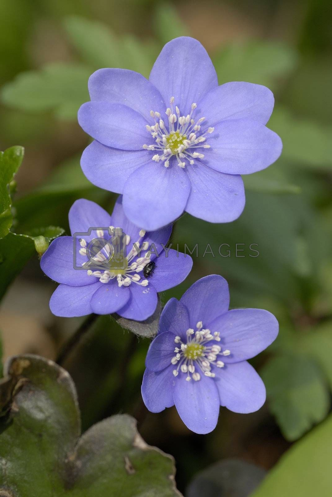 Royalty free image of  Flowers of Liverworth, Hepatica nobilis  by AlessandroZocc