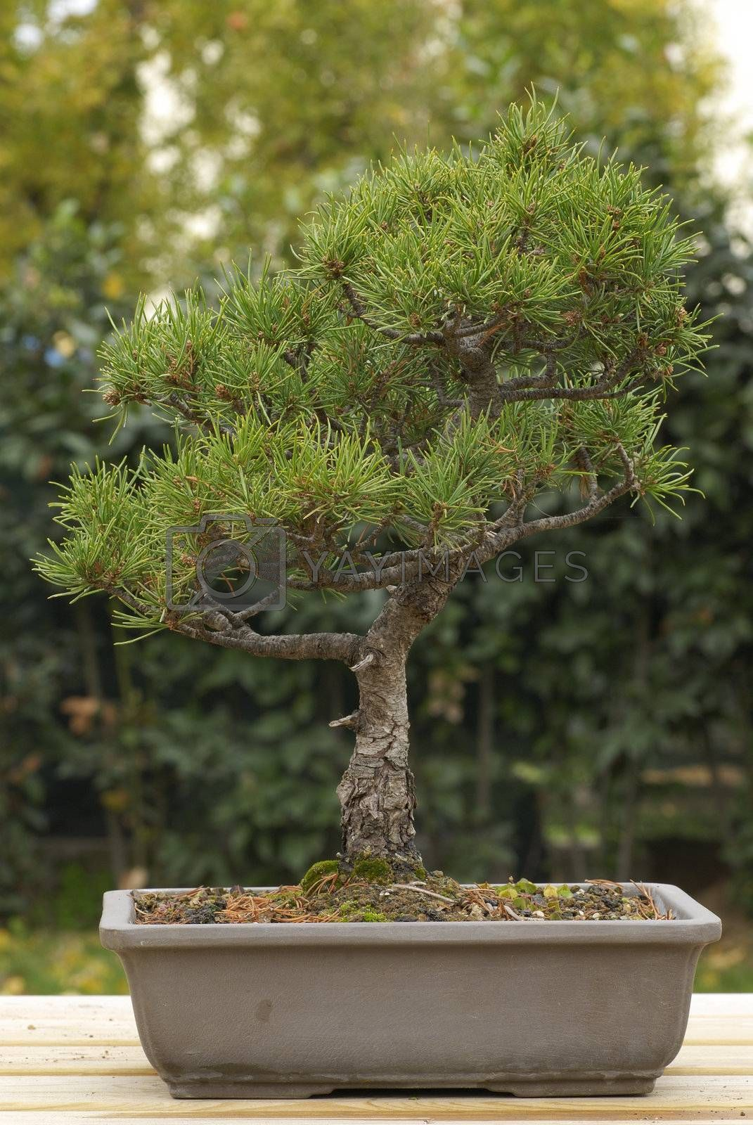 Royalty free image of Pine tree bonsai by AlessandroZocc