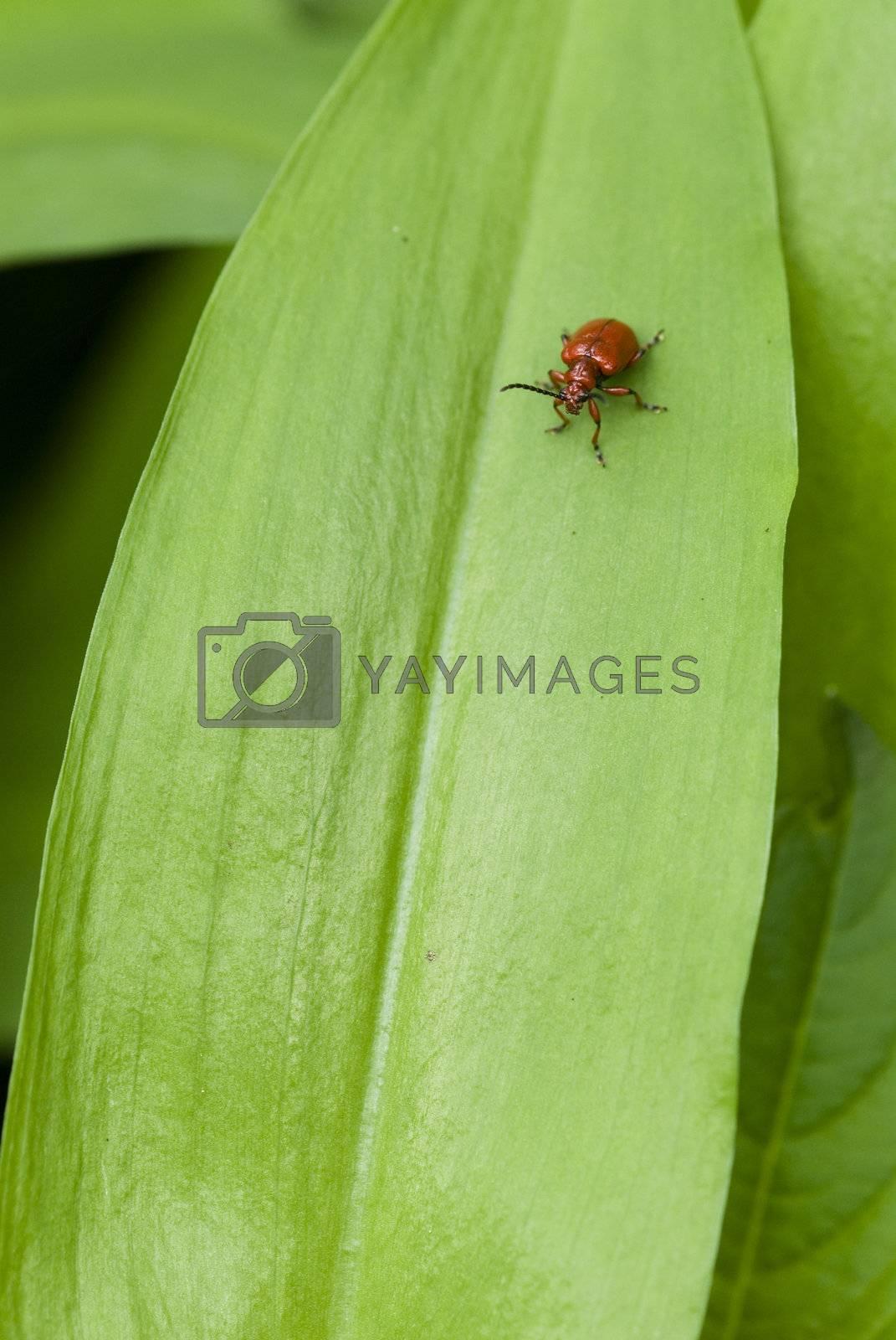 Royalty free image of Red coleopteron on Allium leaf,Lilioceris, merdigera, by AlessandroZocc