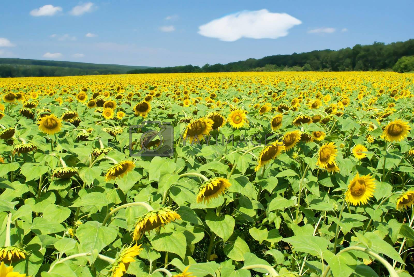 Royalty free image of Field of sunflowers in a summer sunny day by BIG_TAU