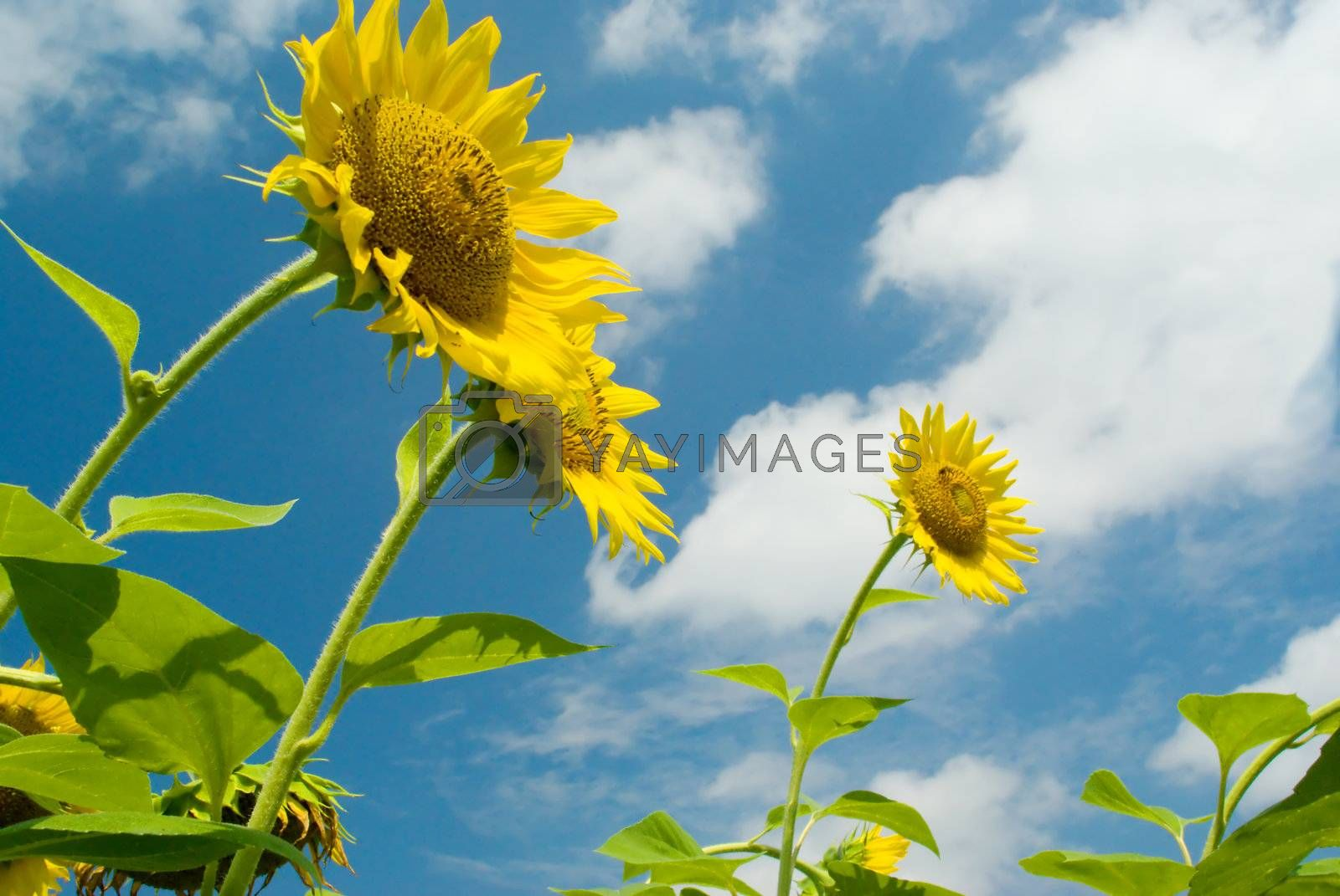 Royalty free image of Three sunflowers against the sky with clouds by BIG_TAU