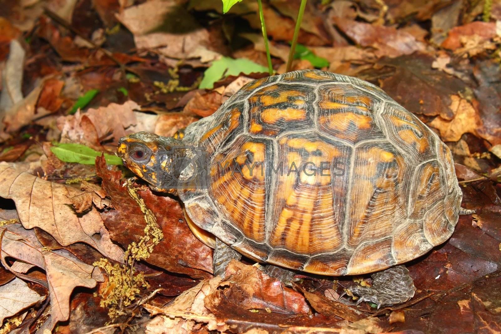 Royalty free image of Box Turtle (Terrapene carolina) by Wirepec