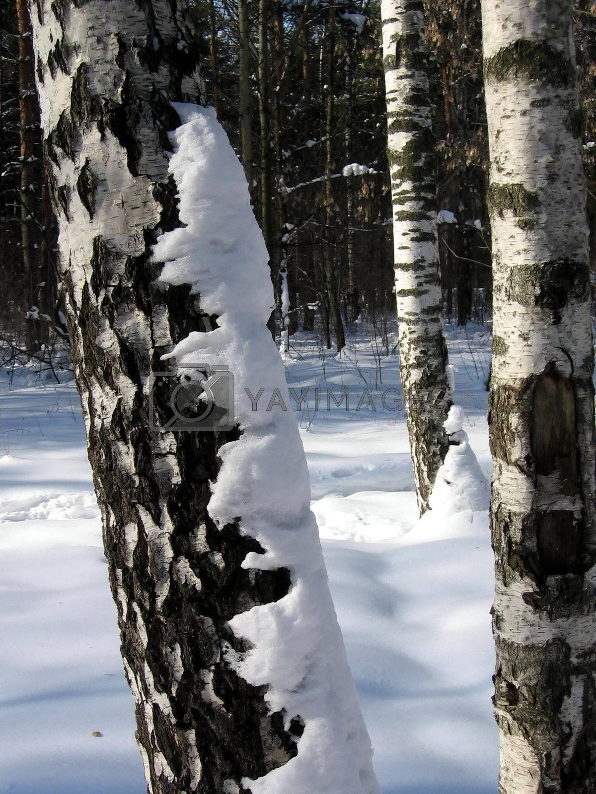 Royalty free image of Birch in snow by tomatto