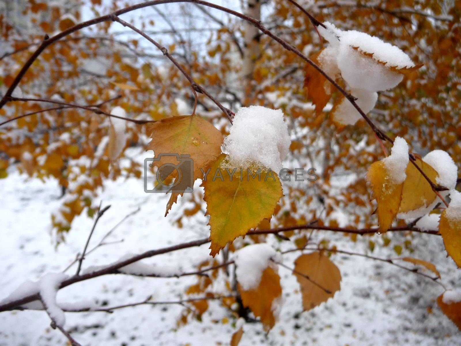 Royalty free image of First snow by tomatto
