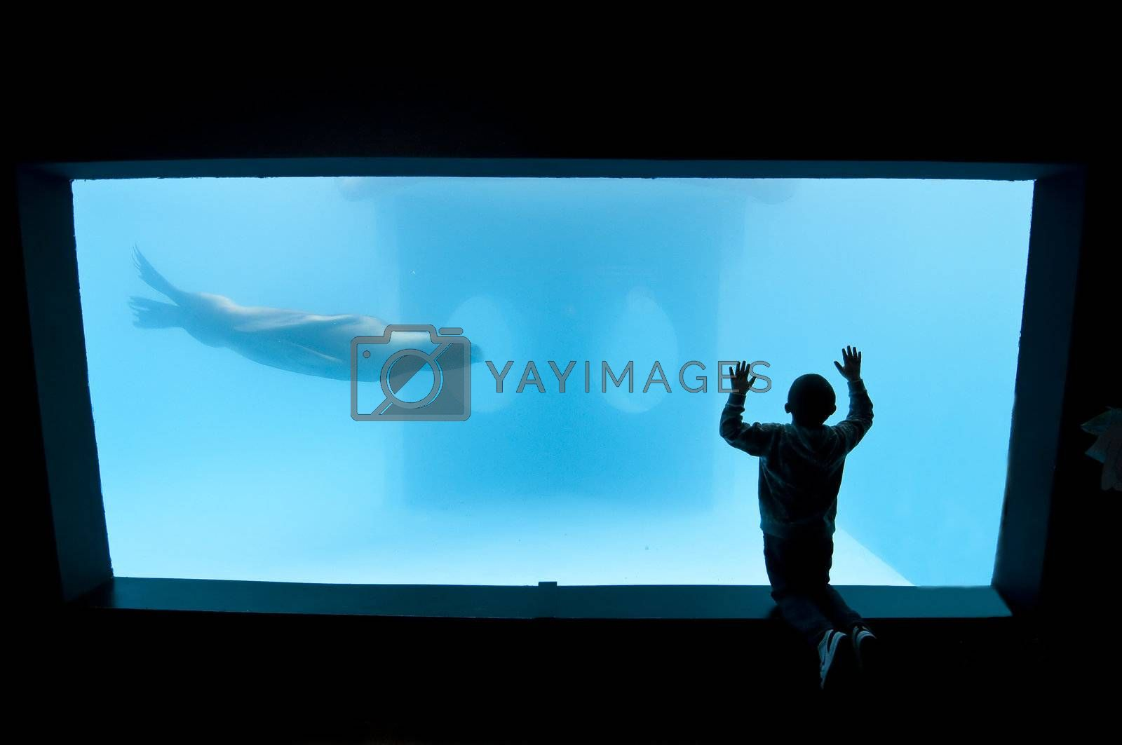 Royalty free image of Child looking to a sealion in a public acquarium by AlessandroZocc