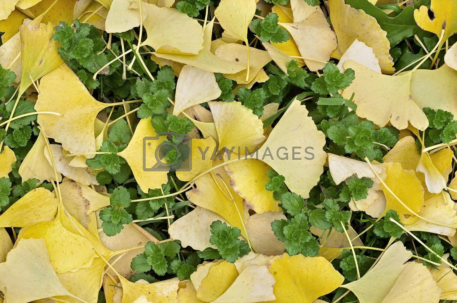 Royalty free image of Yellow leaves of Ginko tree on green grass by AlessandroZocc