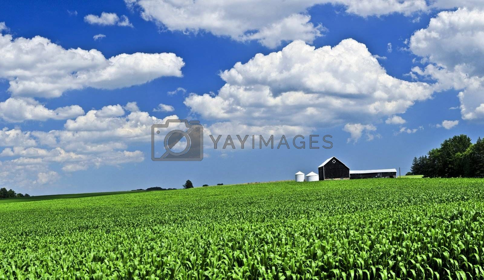 Panoramic rural summer landscape with green corn field and a farm