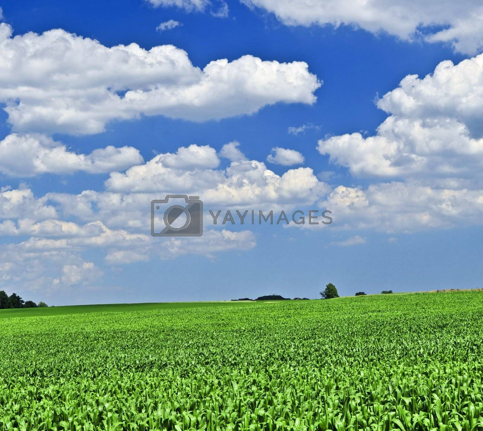 Rural summer landscape with green corn field