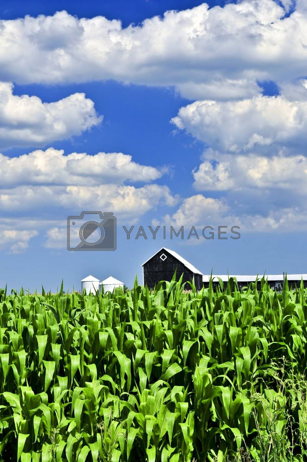 Rural summer landscape with green corn field and a farm
