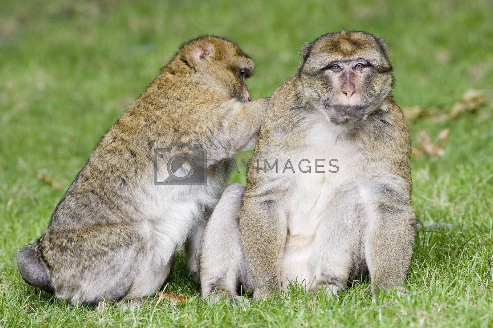 Barbary ape lousing another ape in green grass