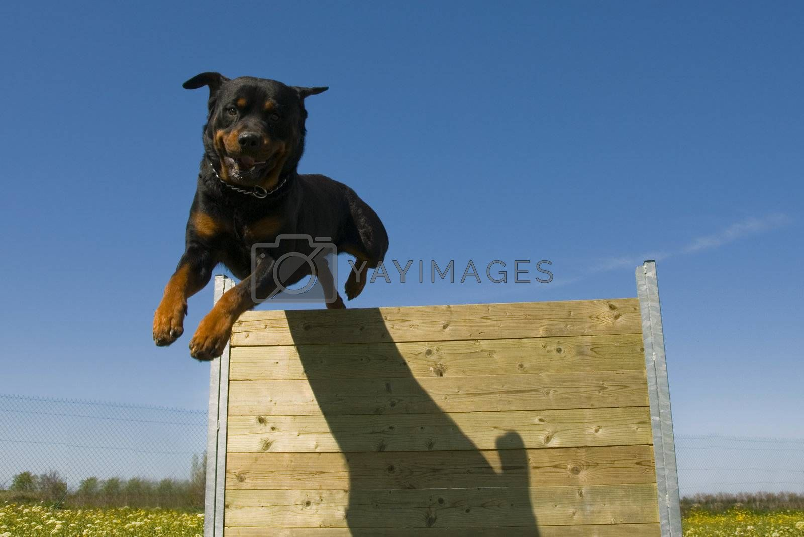 training in agility of a purebred rottweiler