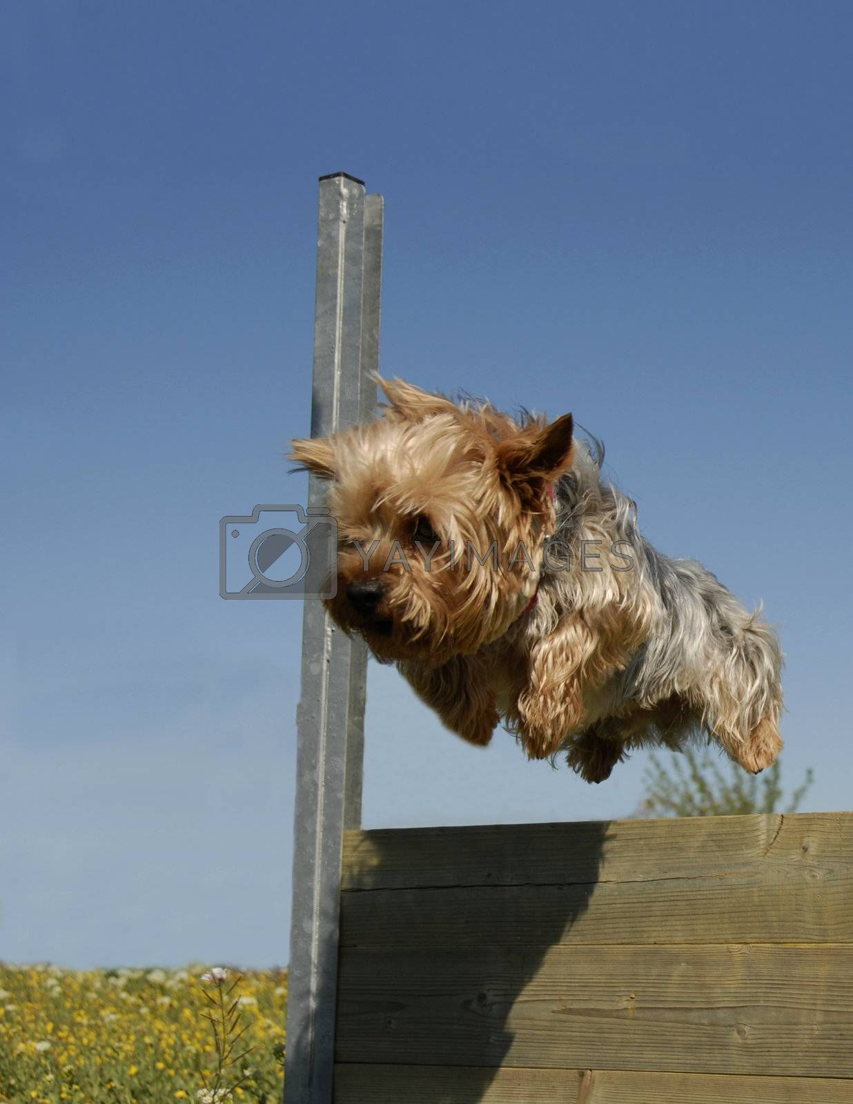 portrait of a beautiful jumping purebred yorkshire terrier