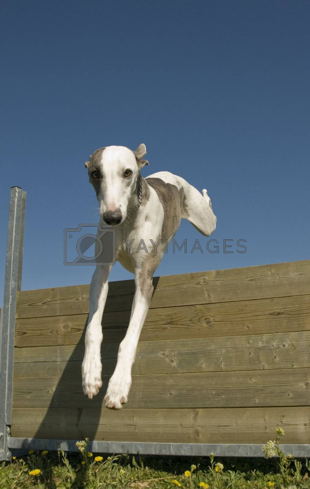 portrait of a purebred greyhound whippet in a training of agility