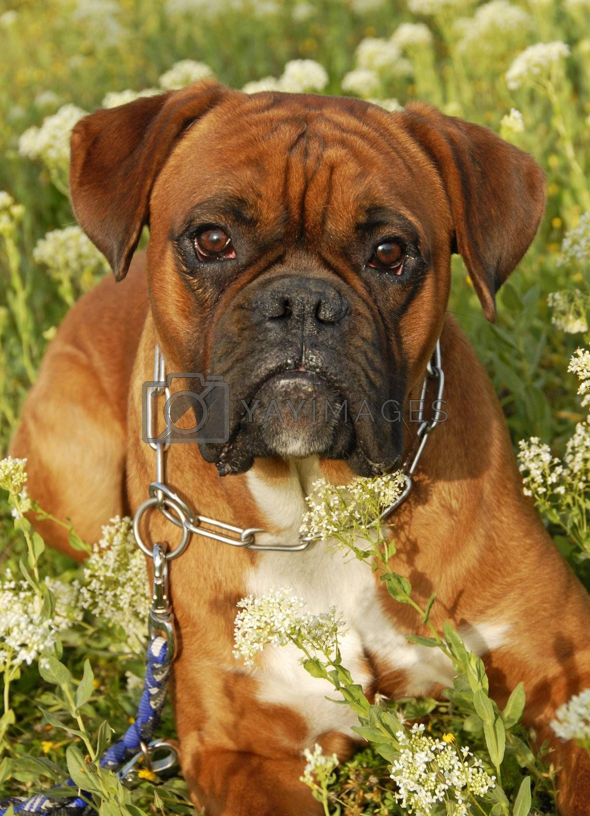 portrait of a purebred boxer laid down in a field