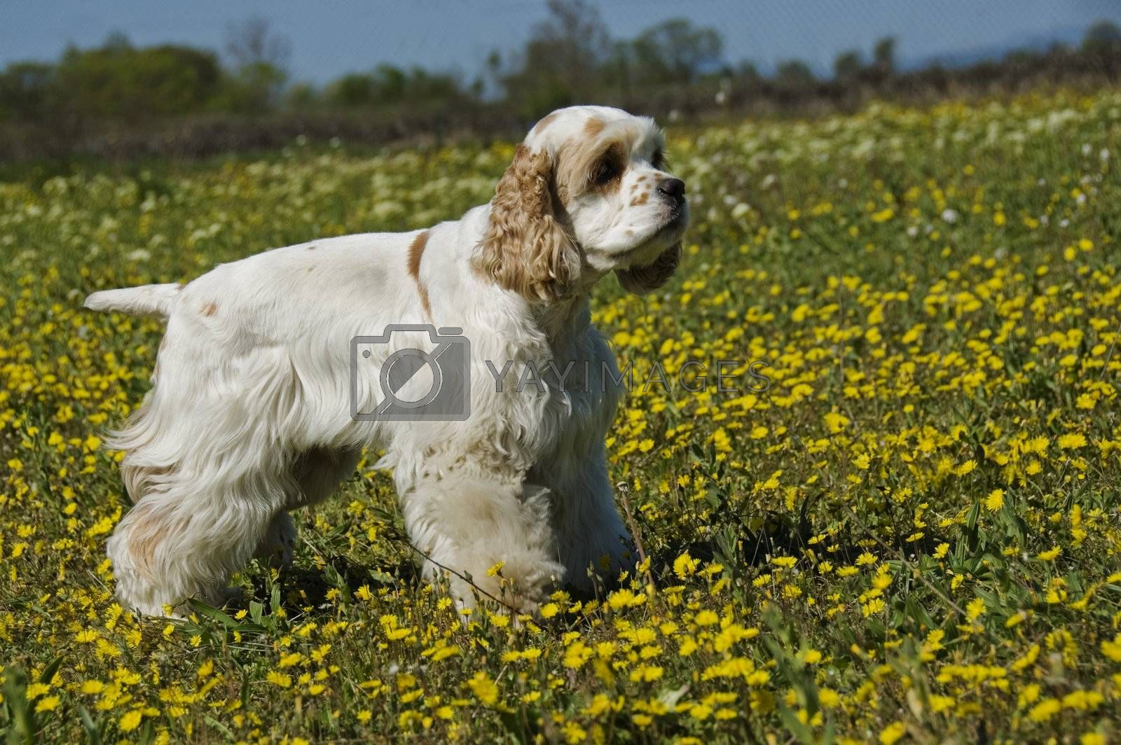 purebred american cocker upright in a field with yellow flowers