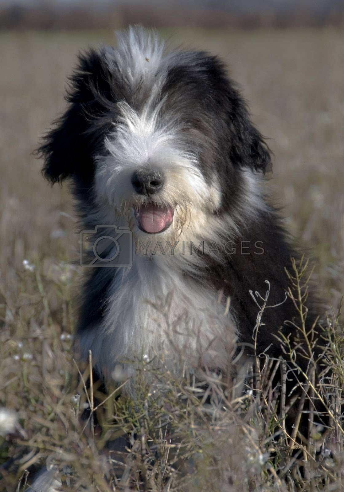 portrait of a puppy purebred bearded collie