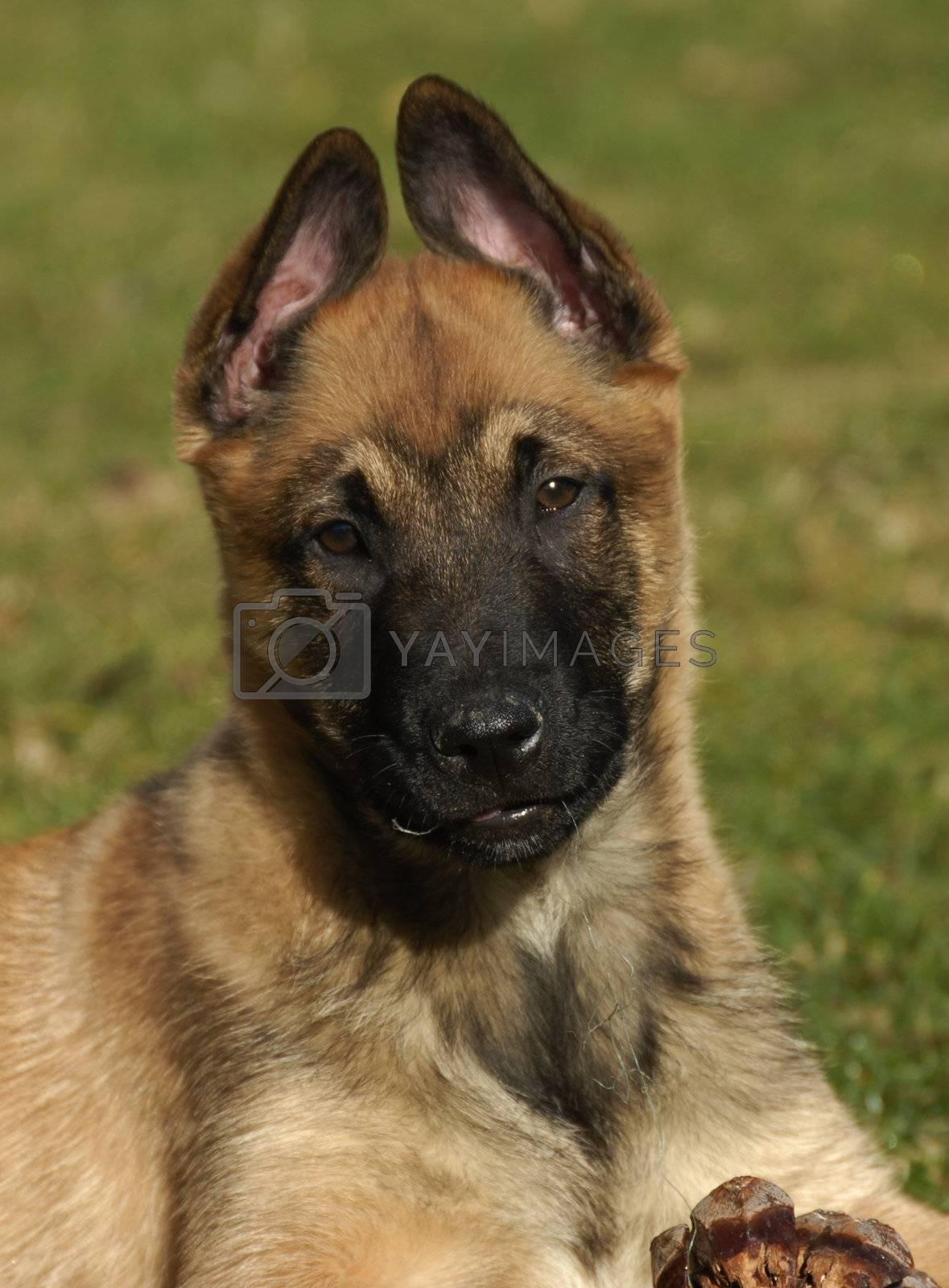 portrait of a purebred puppy belgian shepherd malinois
