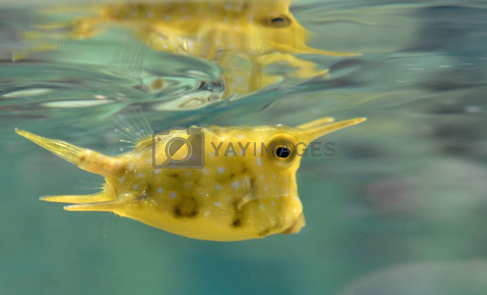 yellow trunk cow fish: lactoria cornuta