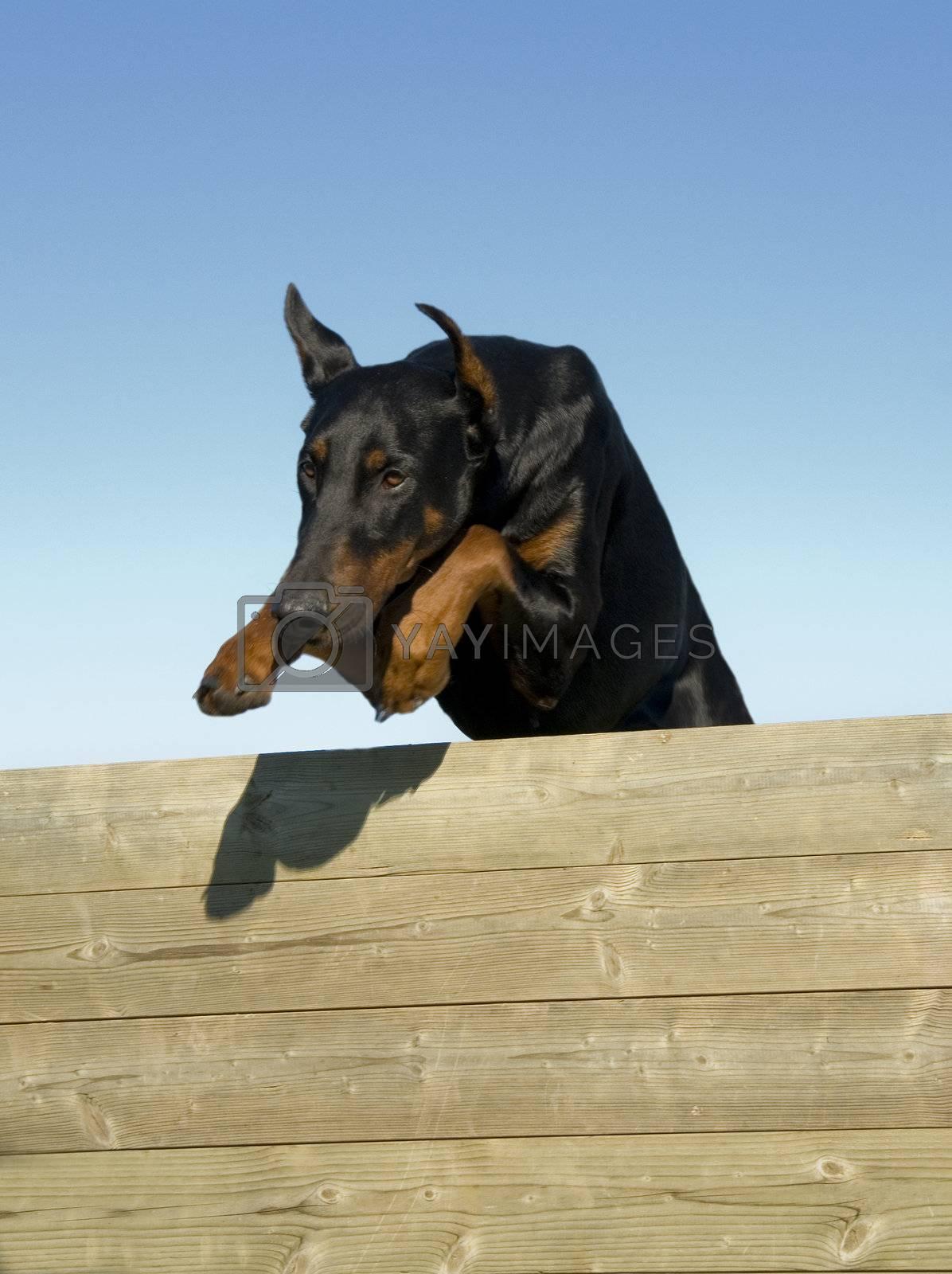 jumping purebred doberman pinsher in a blue sky