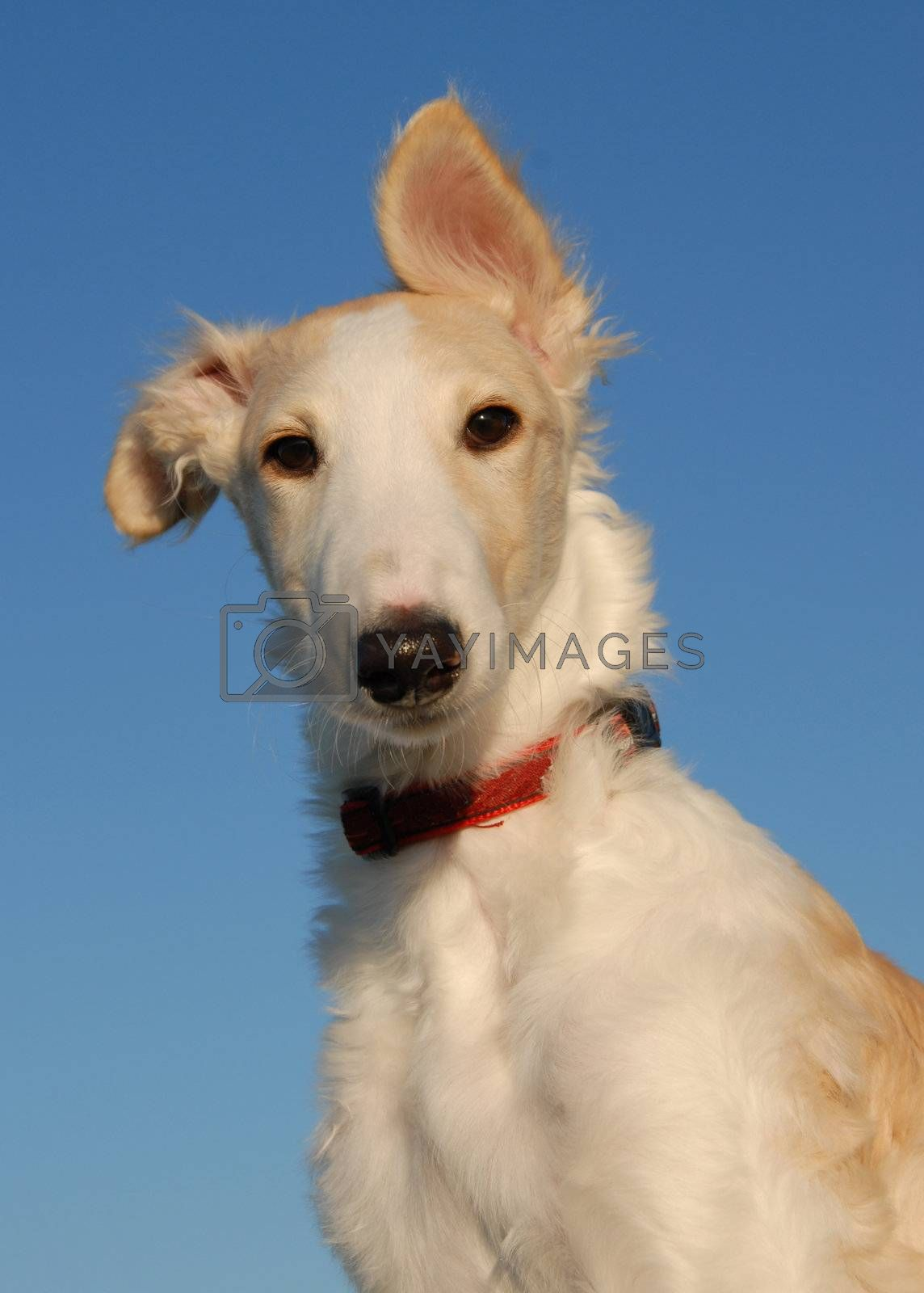portrait of a purebred puppy barzo�. Focus on the eyes
