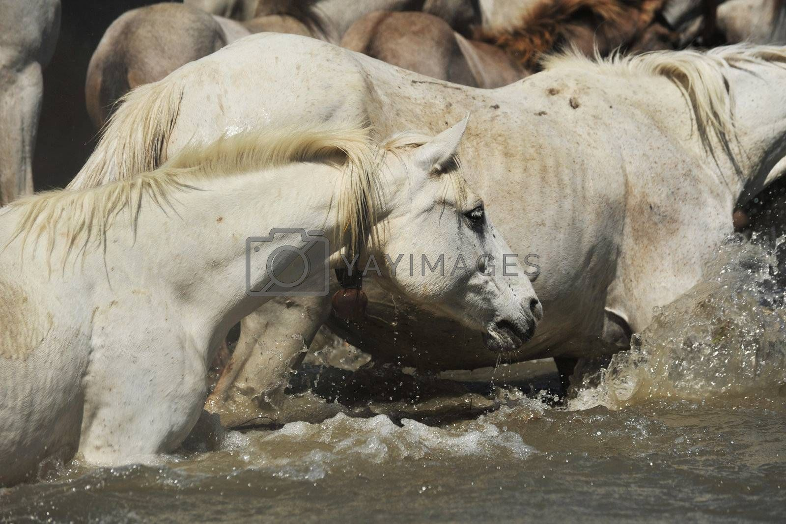 herd of Camargue horses and foal in the water