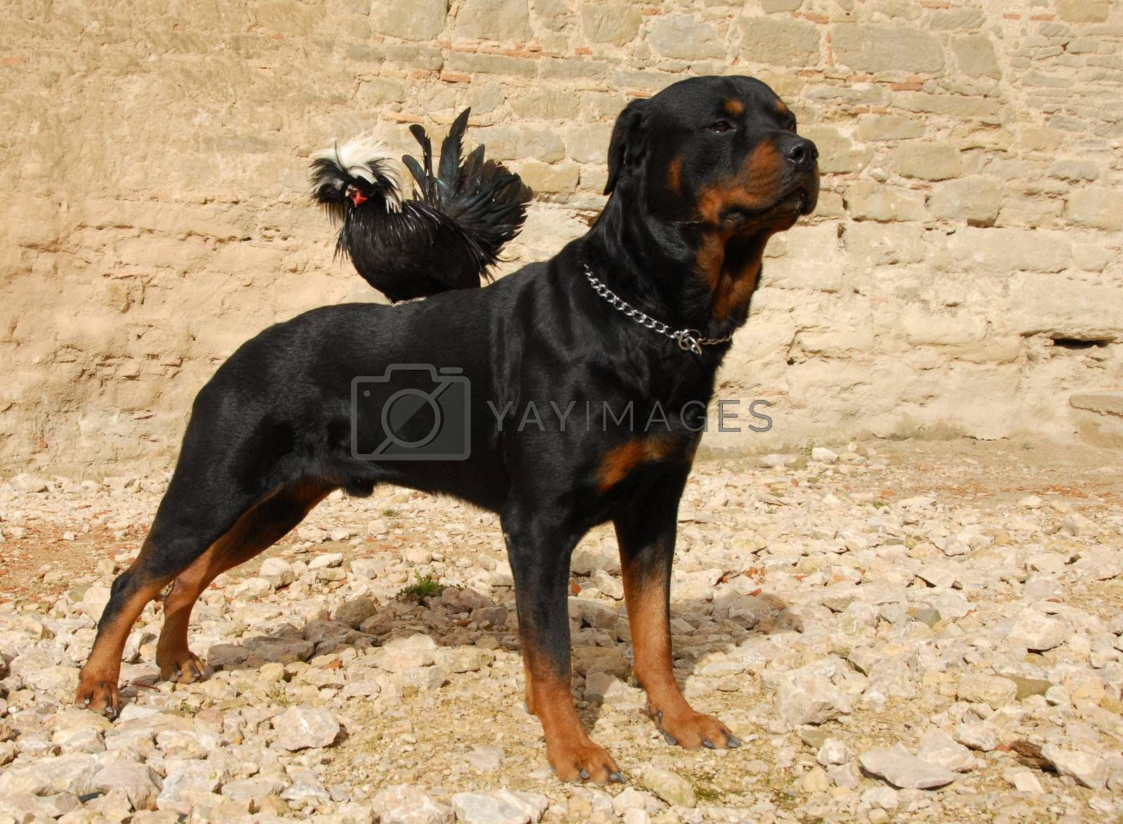 purebred rottweiler and miniature rooster perching on his back