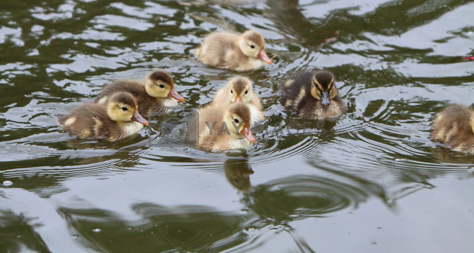ducklings by mitzy