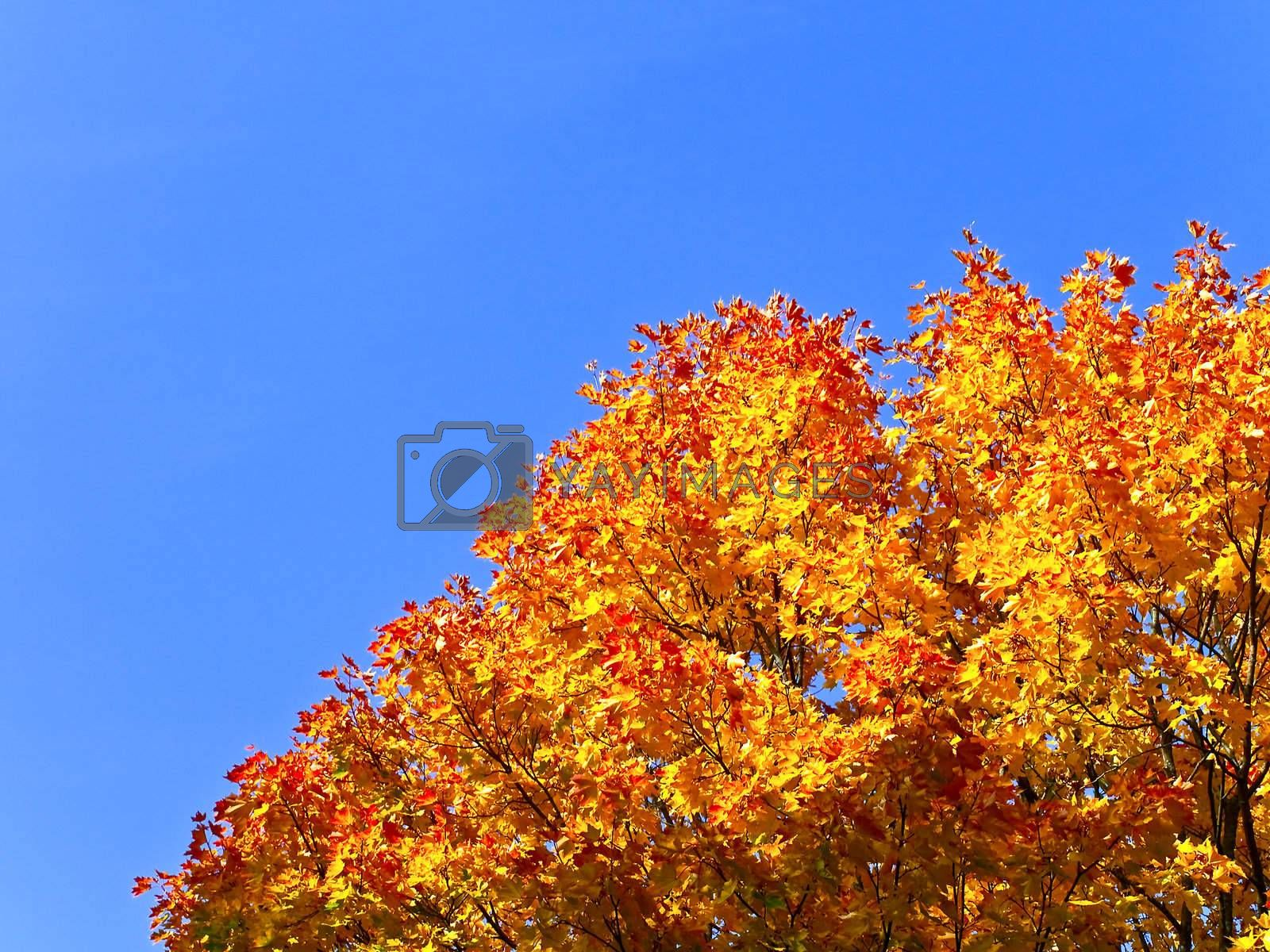 Orange and yellow maple against the blue sky