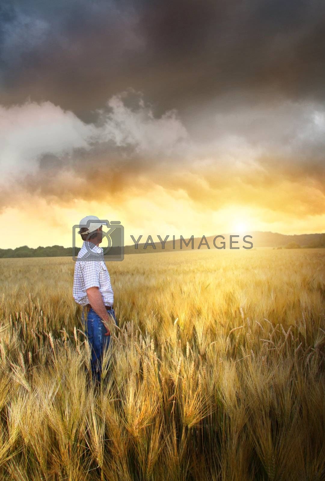 Man standing in a field of wheat at sunset