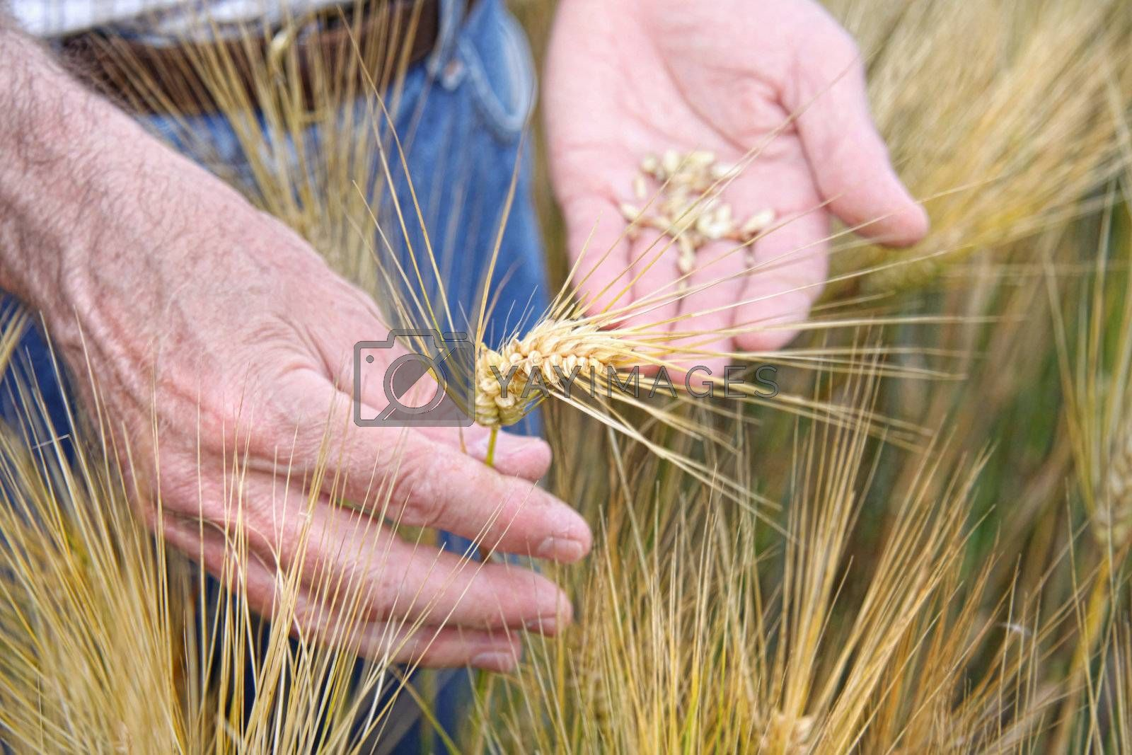 Hands holding wheat in the field