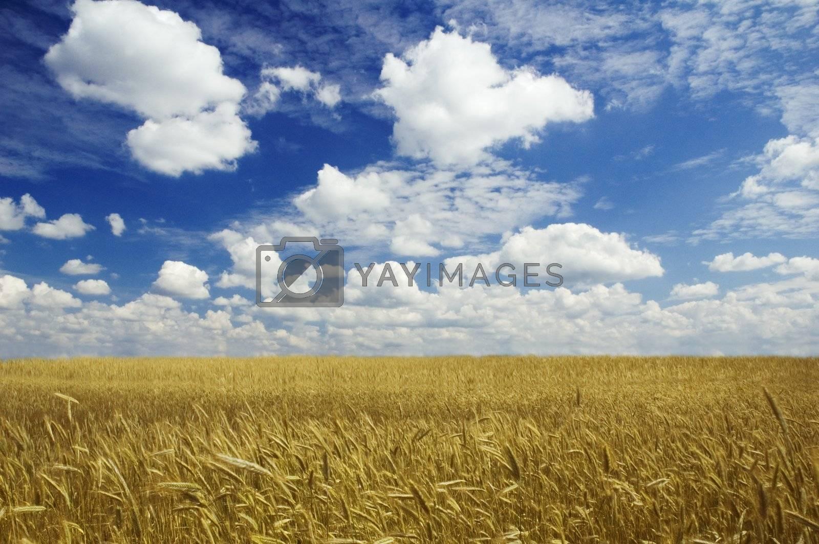 golden corn and blue sky
