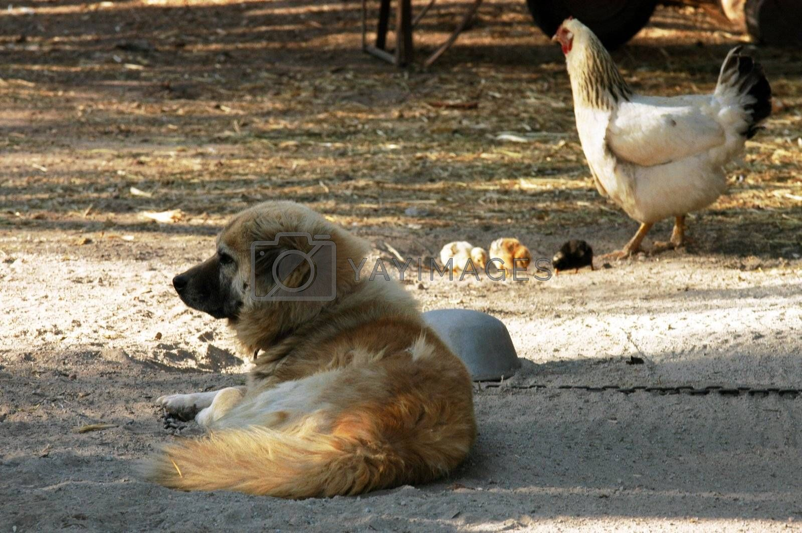 Hen, three small chicken ande dog on the  farm