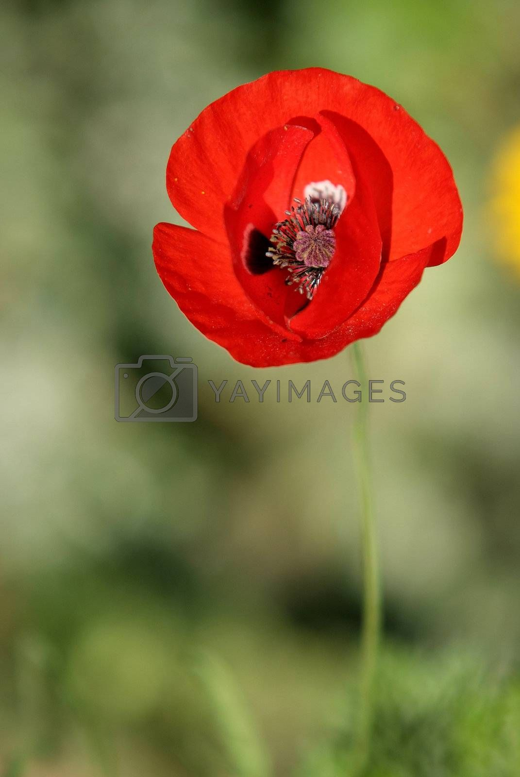 red poppy minimalist background