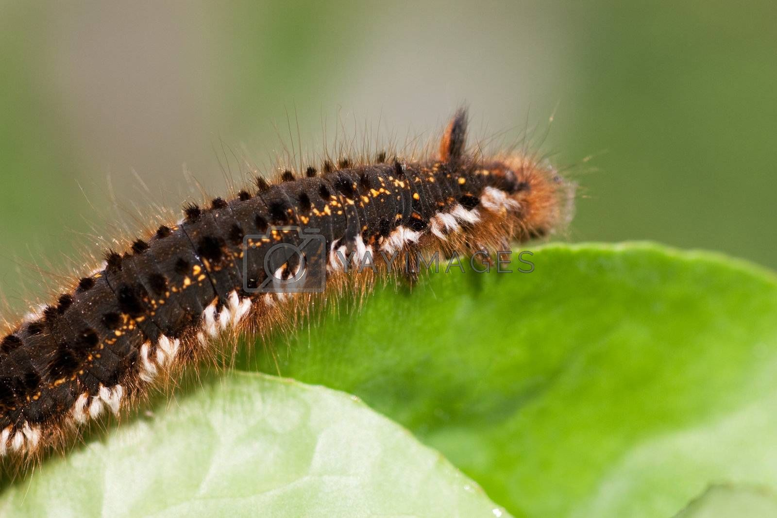 Macro view of hairy caterpillar on a leaf