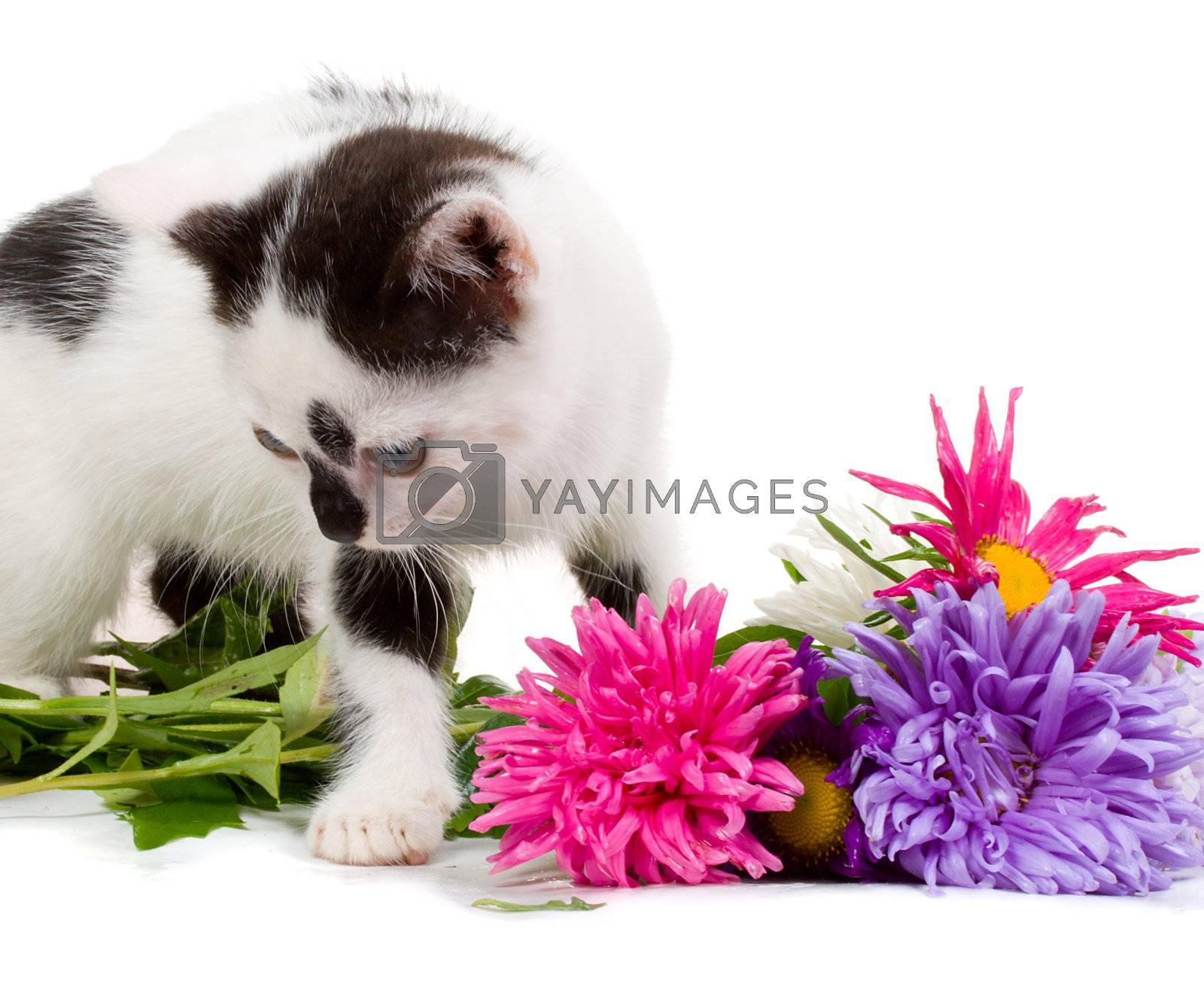 kitten taking aster flowers, isolated on white