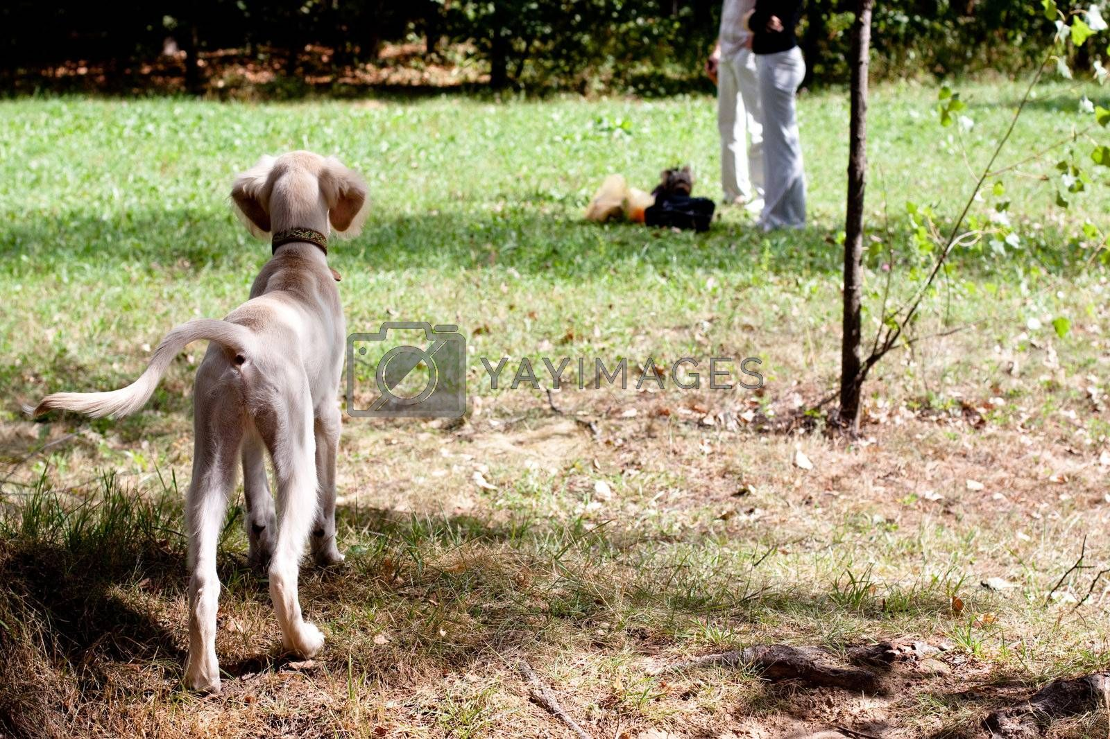 A standing saluki pup in a green field and two people in the distance