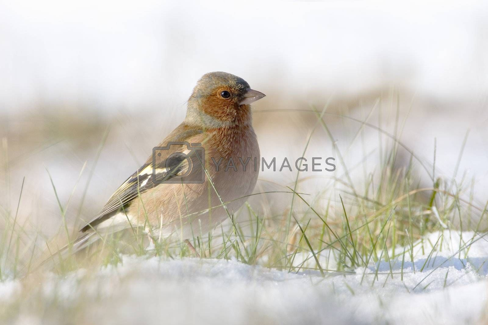 Chaffinch in the snow in a cold winter. You can see every detail of the head.