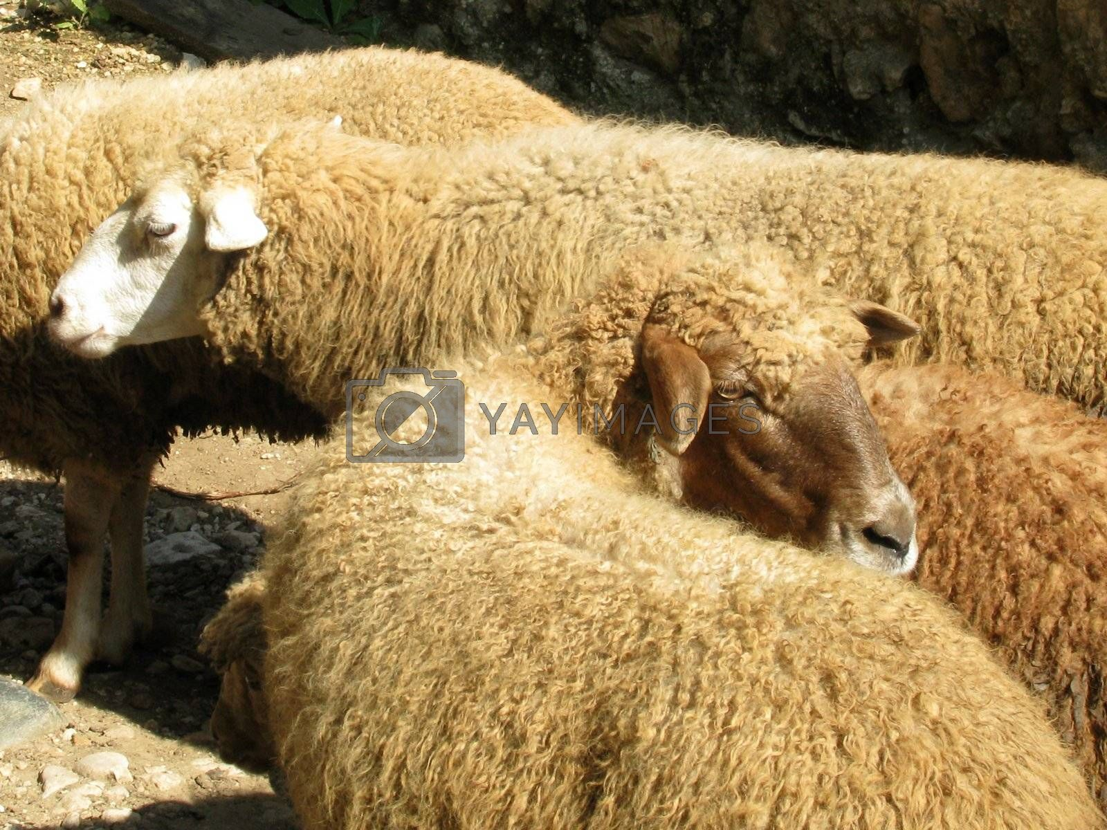 Sheep, herd, a flock, a pet, agriculture, animal industries, village, village