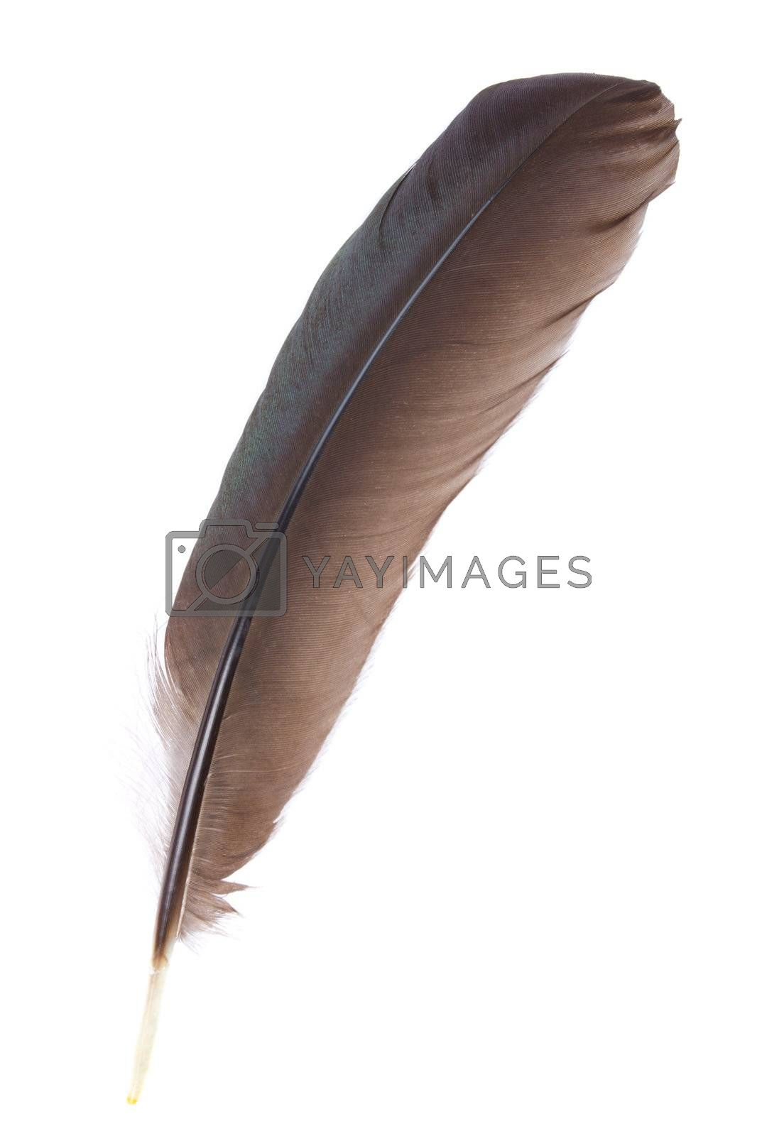 close-up black feather, isolated on white