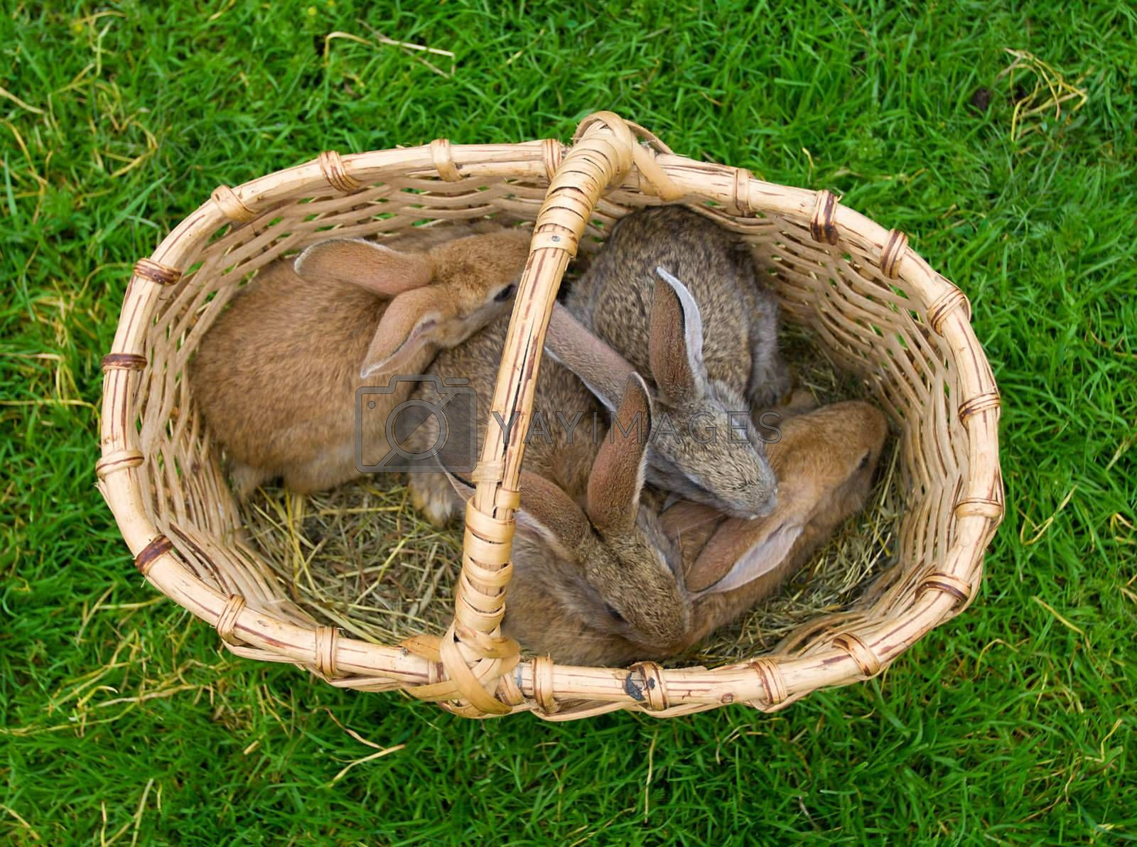 four bunnies in basket on green grass background