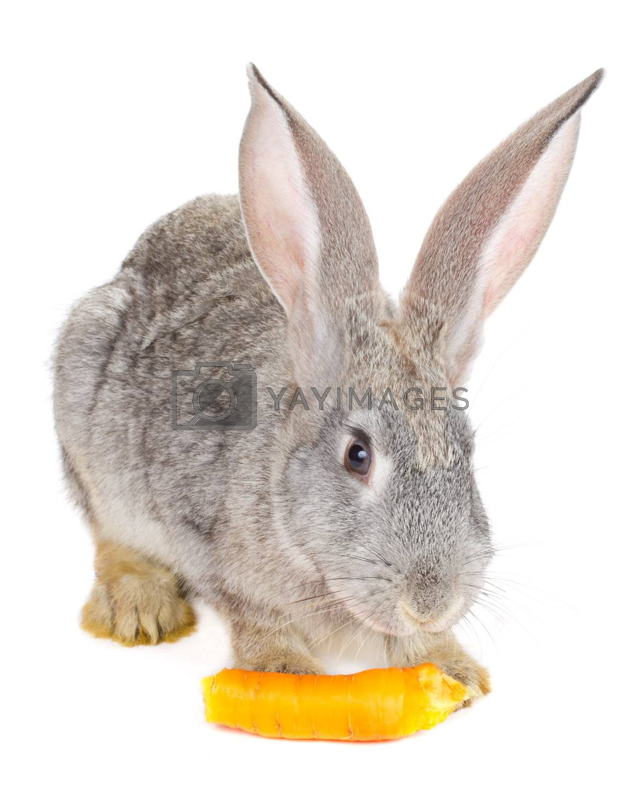 close-up gray rabbit eating the carrot, isolated on white