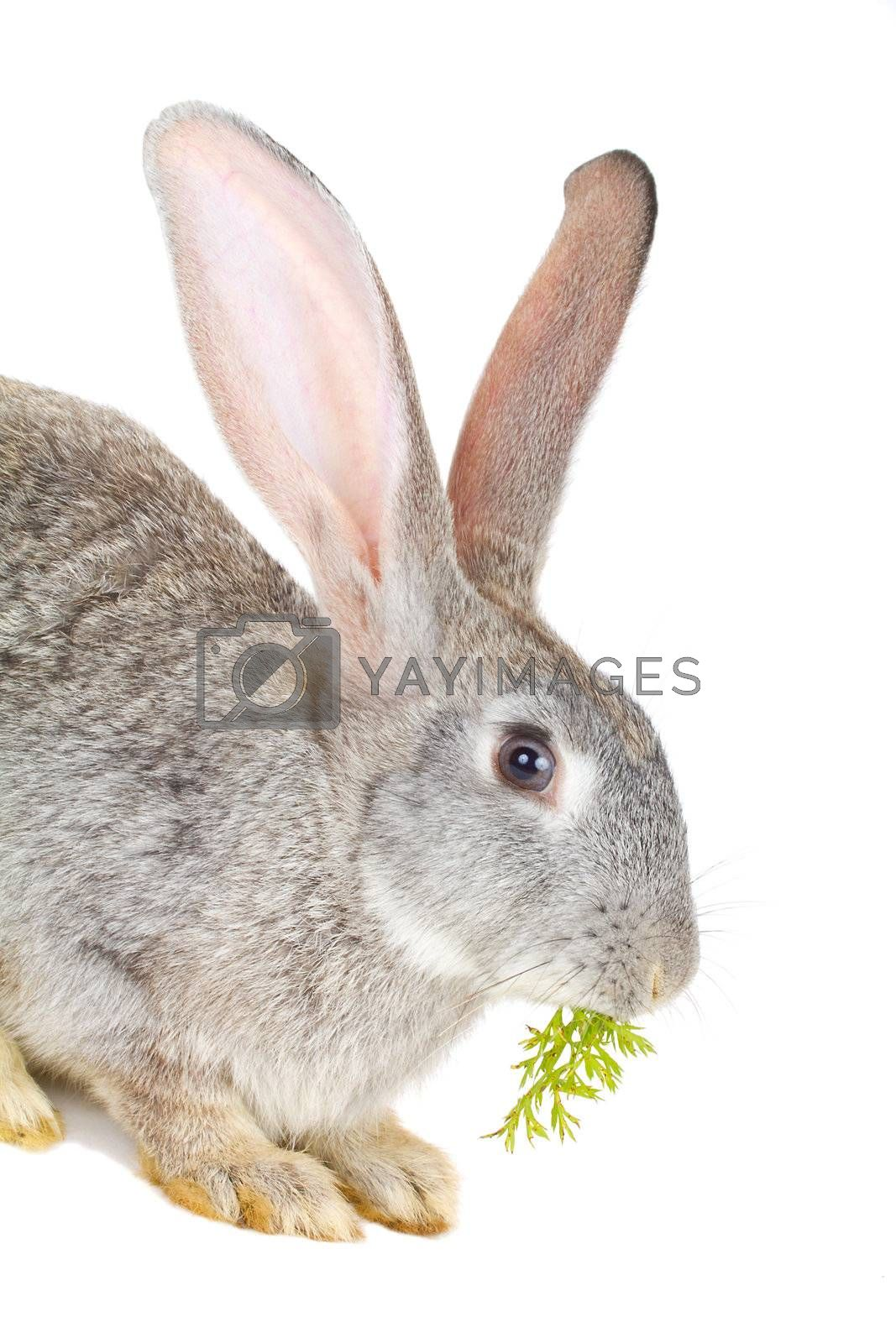 close-up gray rabbit eating the carrot leaves, isolated on white
