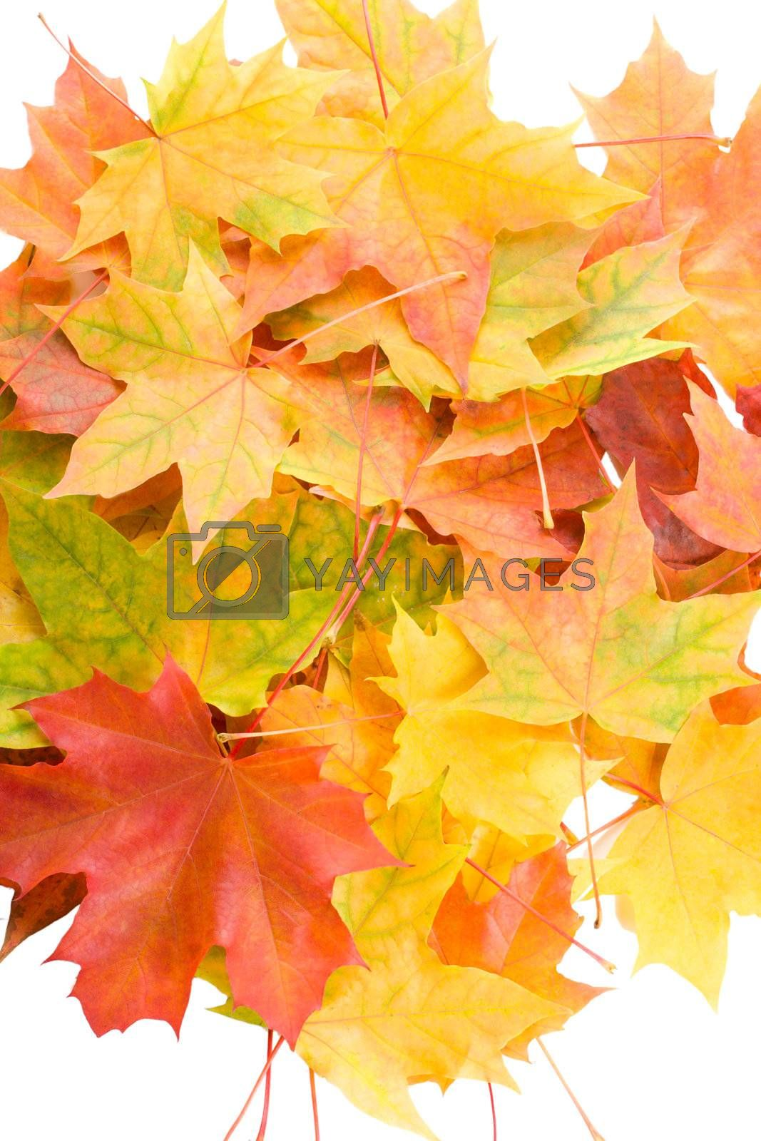 close-up autumn maple leaves